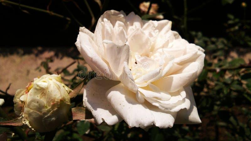 Sch?ne wei?e Farbe stieg sch?ner Hintergrund des romantischen Blumenblattes der Blume lizenzfreie stockbilder