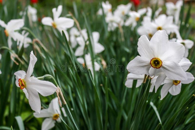 Schöne weiße gelbe Narzissen lizenzfreie stockbilder