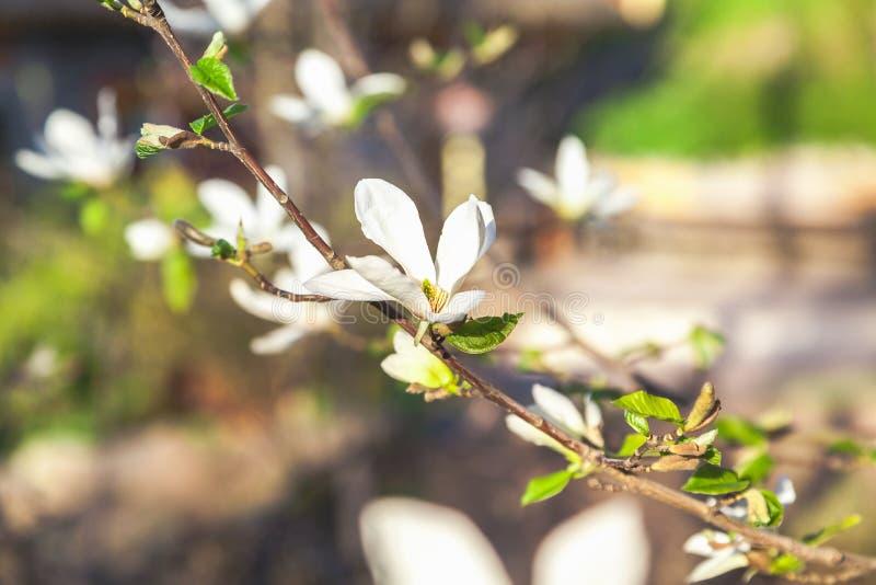 Schöne weiße Jasminblume auf Niederlassung stockfotografie