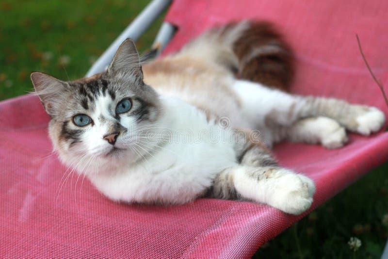 Schöne weiße Katze mit den blauen Augen, die sich draußen auf einem Stuhl hinlegen lizenzfreies stockfoto