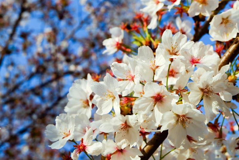 Schöne weiße Kirschblüte blüht Baumast im Garten mit nettem klarem blauem Himmel natürlicher Frühlings-Saison-Festivalhintergrund stockfotos