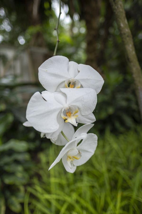 Schöne weiße Orchidee, die an einem Baum hängt stockbild