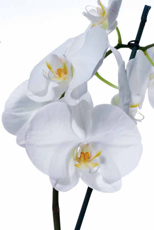 Schöne weiße Orchideenblumen in der Blüte stockfotos