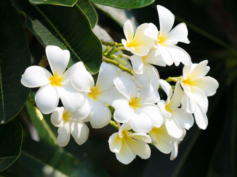schöne weiße plumaria Blume auf Natur lizenzfreies stockfoto