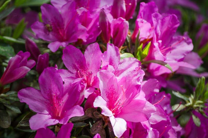 Schöne weiße purpurrote rosa Azalea Flowers in einer Frühlings-Saison an einem botanischen Garten lizenzfreie stockfotos