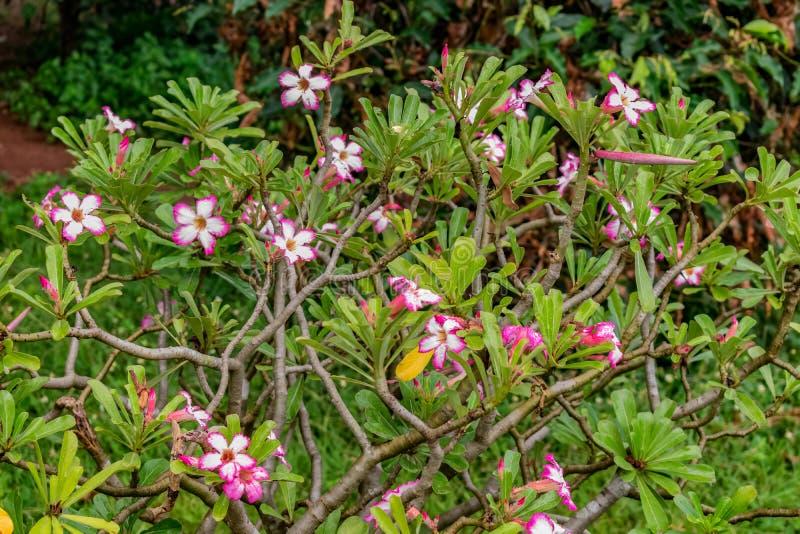 Schöne weiße rosa Farbblume, die auf einem Garten mit nass Blättern in der Regenzeit ehrfürchtig schaut stockbilder