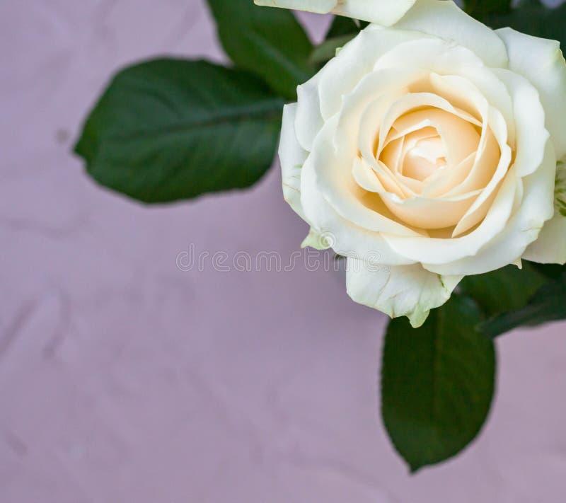 schöne weiße rosafarbene Blume auf grauem Hintergrund lizenzfreie stockfotos