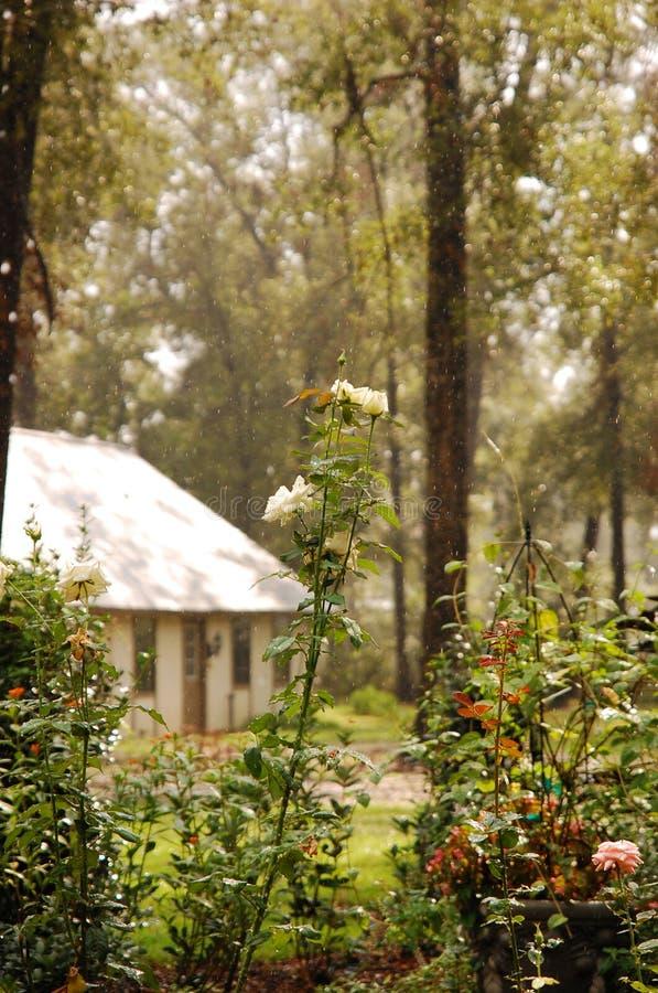 Schöne weiße Rose Bush im warmen Sommer-Regen lizenzfreie stockfotografie