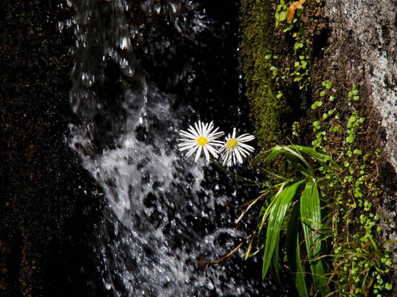 Schöne weiße und gelbe Gänseblümchenblumen vor einem Wasserfall lizenzfreie stockbilder