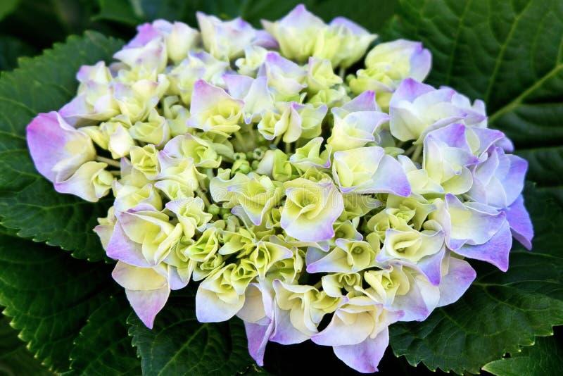 Schöne weiße und purpurrote Blumen lizenzfreie stockbilder