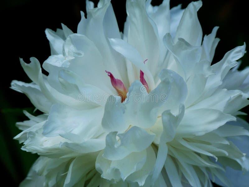 Schöne weiße und rosa Blume in voller Blüte stockbild