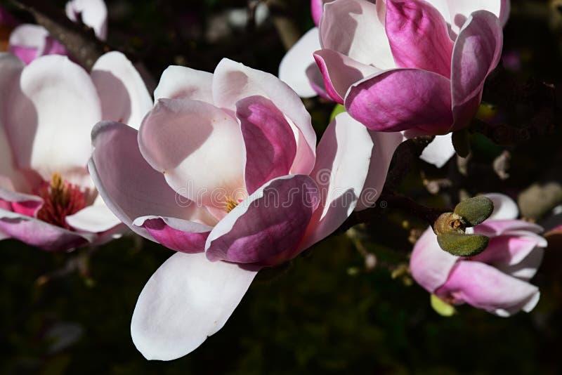 Schöne weiße und rosa Magnolie Soulangeana blüht in voller Blüte während der Frühlings-Saison lizenzfreie stockbilder