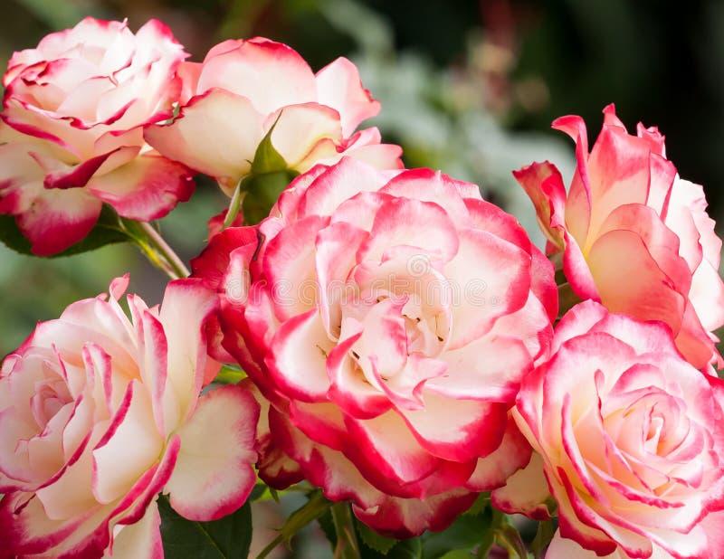 Schöne weiße und rote Rosa 'Doppelt-Freude' stockfotografie