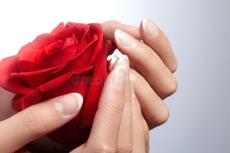 Schöne weibliche Finger mit idealer rührender Rotrose der französischen Maniküre Interessieren Sie sich für weibliche Hände, gesu stockbilder