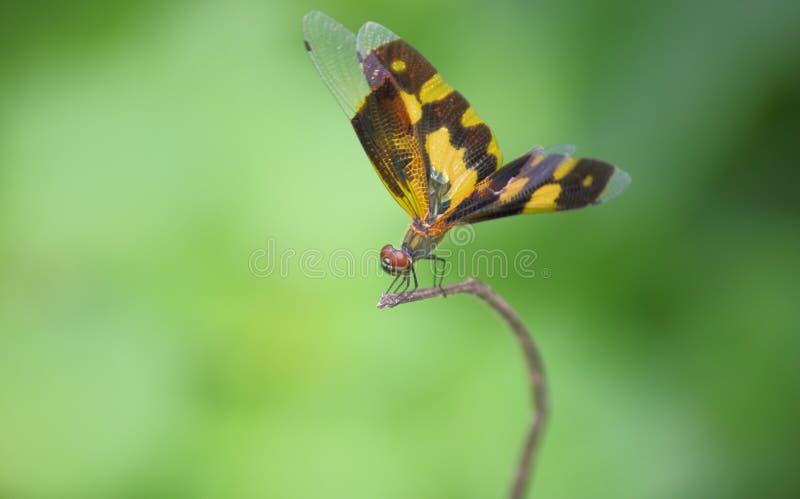 Schöne weibliche Libelle stockbilder