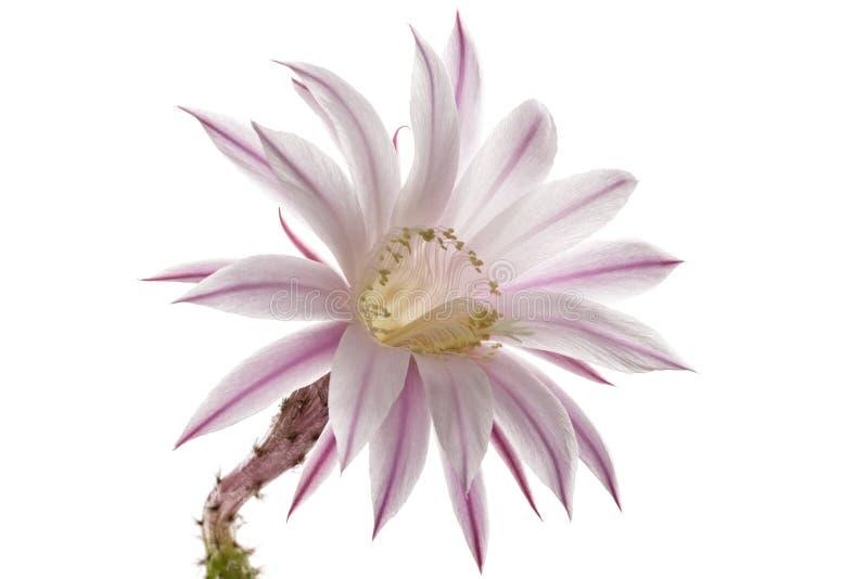 Schöne weiche rosa Kaktusblume, lokalisiert auf weißem Hintergrund stockfotografie