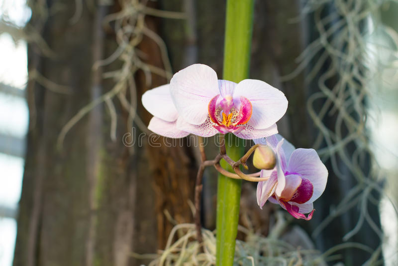 Schöne weiche rosa Orchideen in den Tropen lizenzfreies stockbild