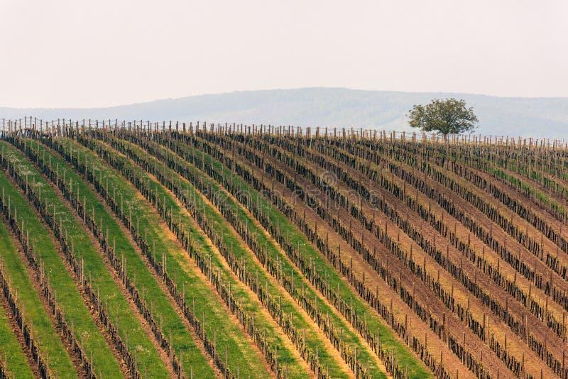 Schöne Weinberglandschaft nahe Velke Bilovice, Süd-Moray, stockfotografie