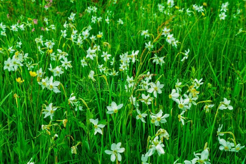Schöne Wiese voll der Narzisse in den Karpatenbergen lizenzfreie stockfotos