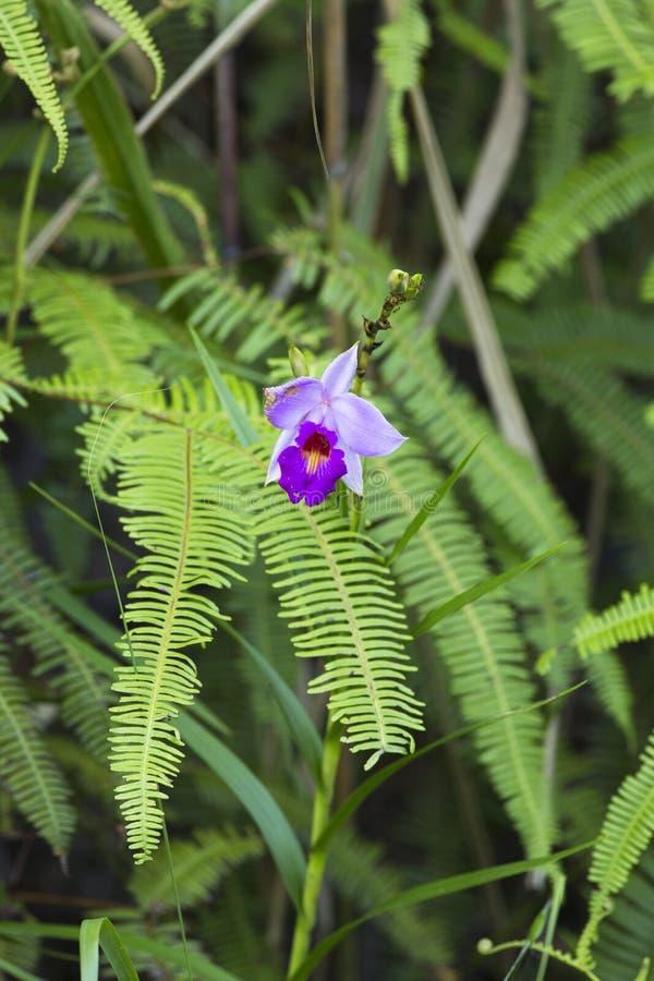 Sch?ne wilde Orchideen im Wald von Thailand lizenzfreie stockfotografie