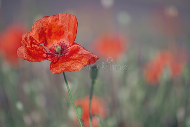 Schöne wilde, rote Mohnblumenblume lizenzfreie stockbilder