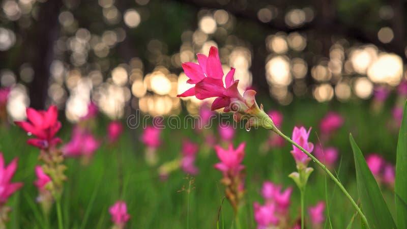Schöne wilde Siam-Tulpen, die im Dschungel bei Sai Thong N blühen lizenzfreie stockfotos