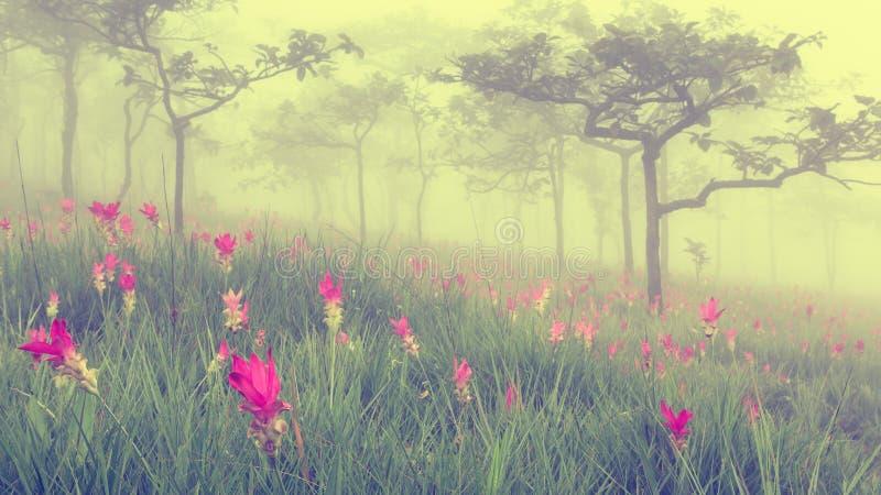 Schöne wilde Siam-Tulpen, die im Dschungel bei Sai Thong N blühen stockbild