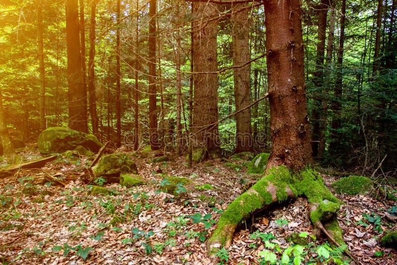 Schöne wilde Waldlandschaft mit moosigen alten Kiefernbaumstämmen und Sonnenaufflackern stockfotografie