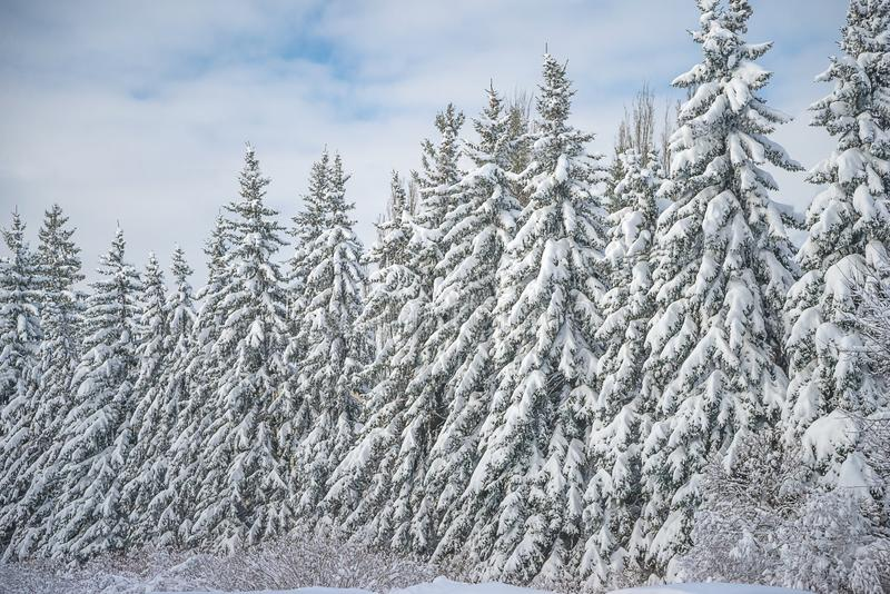Schöne Winterlandschaft: schneebedeckte Tannenbäume am sonnigen Tag lizenzfreies stockbild
