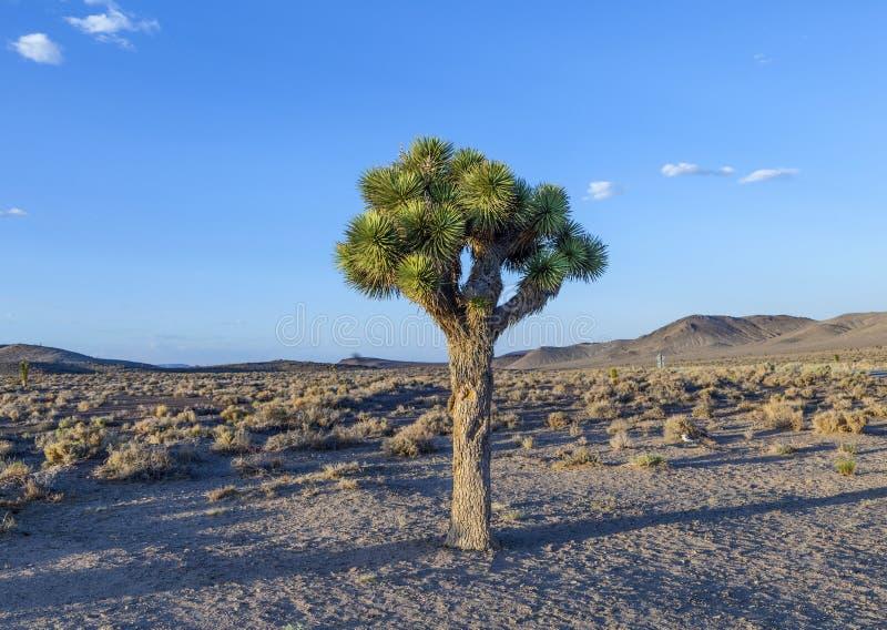 Schöne Yuccaanlagen im Sonnenuntergang lizenzfreie stockfotografie