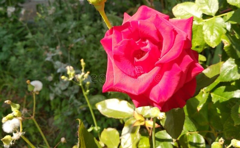Schöne zarte rote Rosen stockbilder