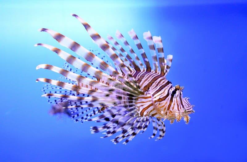 Schöne Zebrafische oder gestreifter Lionfish im Aquarium stockbild
