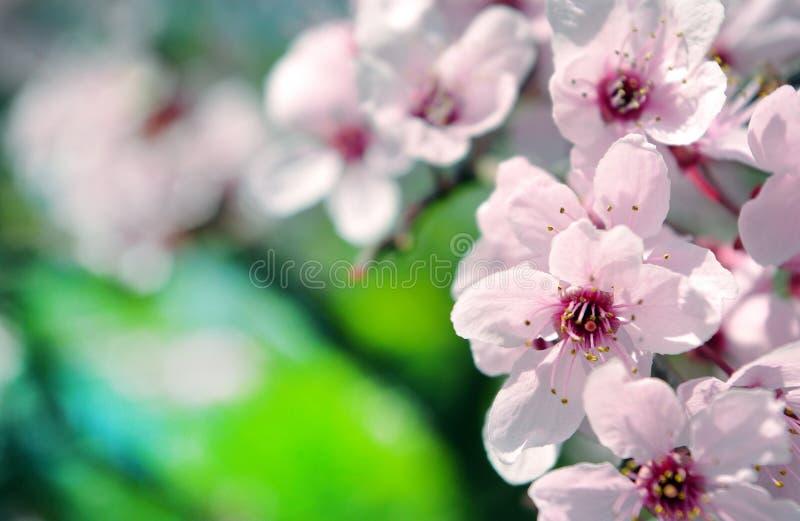 Schöne Zeit Kirschblüten-Kirschblütes im Frühjahr Ausführliche vektorzeichnung lizenzfreie stockfotografie