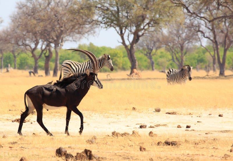 Schöne Zobel-Antilope mit oxpeckers auf seinem zurück mit Zebra im Hintergrund in Nationalpark Hwange lizenzfreie stockfotografie