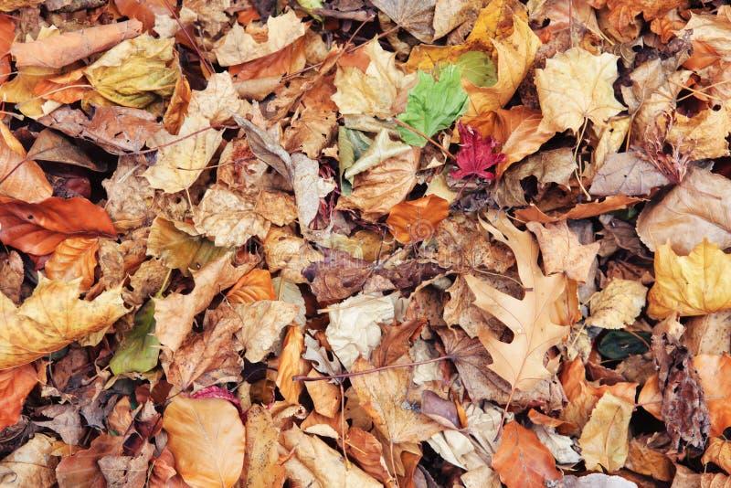 Schöner Abschluss herauf Bildschuß mit bunten gelben roten trockenen Herbstfallahornblättern auf dem Boden, Herbstsaison, Ansicht stockfotografie