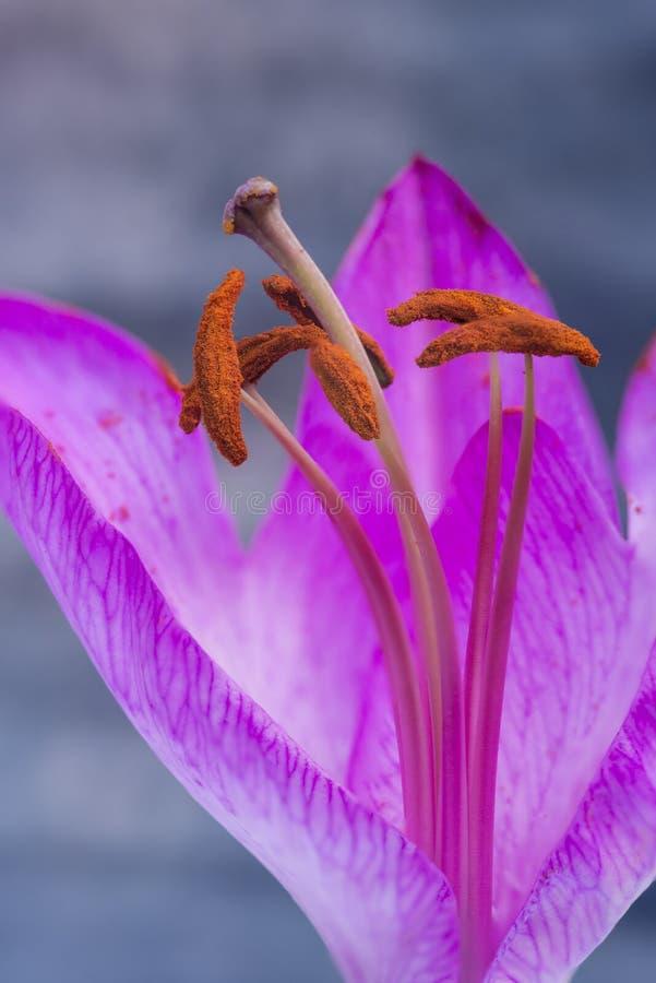 Schöner Abschluss herauf Makrobild der vibrierenden bunten Lilienblume lizenzfreie stockfotos