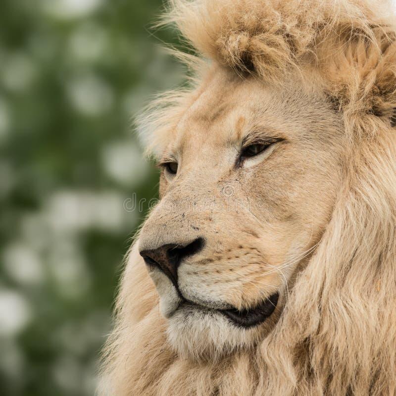 Schöner Abschluss herauf Porträt weißen Barbary-Atlasses Lion Panthera lizenzfreies stockbild