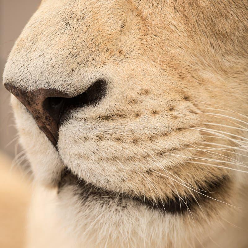 Schöner Abschluss herauf Porträt weißen Barbary-Atlasses Lion Panthera stockfotografie