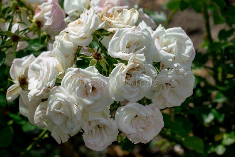 Schöner Abschluss oben einiger weißer rosafarbener Köpfchen der deutschen Bodendeckerrose aspirin stockfoto