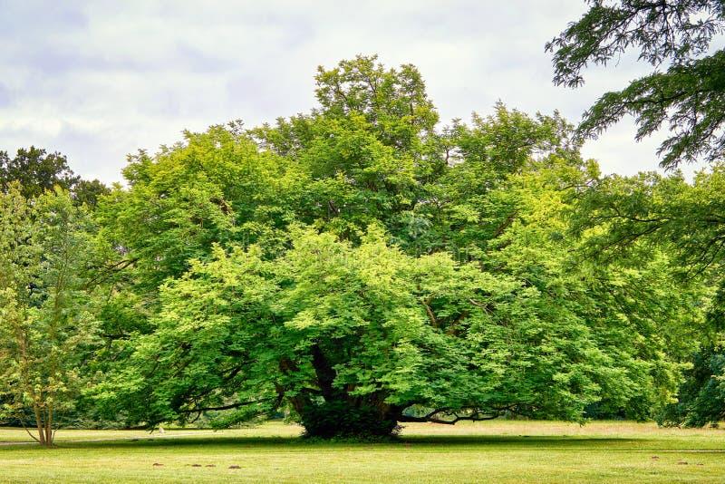 Schöner alter Baum auf dem Land Schwerin, Deutschland stockbilder