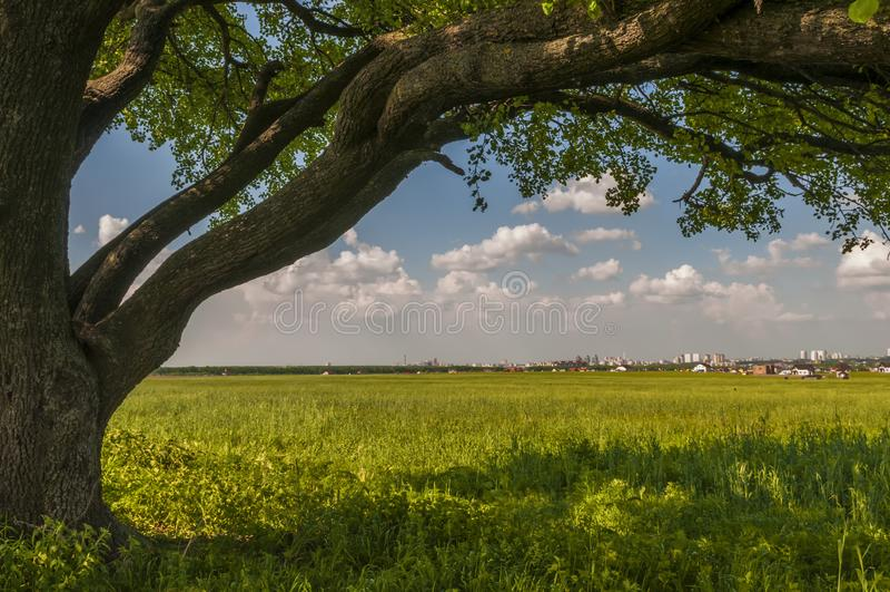 Schöner alter Baum auf der sonnigen Wiese stockbilder