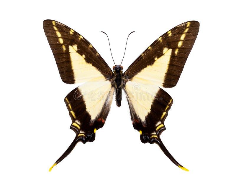 Schöner angebundener Schmetterling lokalisiert auf Weiß lizenzfreie stockbilder