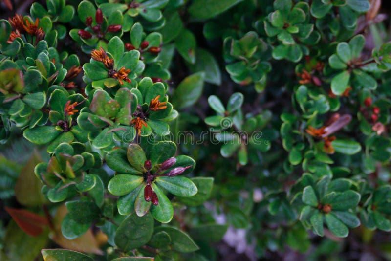 Schöner Anlagenerythroxylaceae mit saftigen grünen Blättern stockfotos