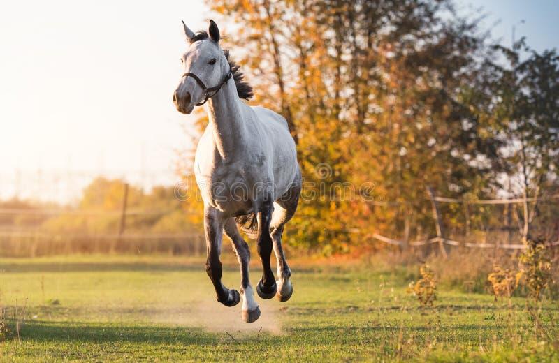 Schöner arabischer Pferdelaufgalopp auf dem Blumengebiet lizenzfreie stockbilder