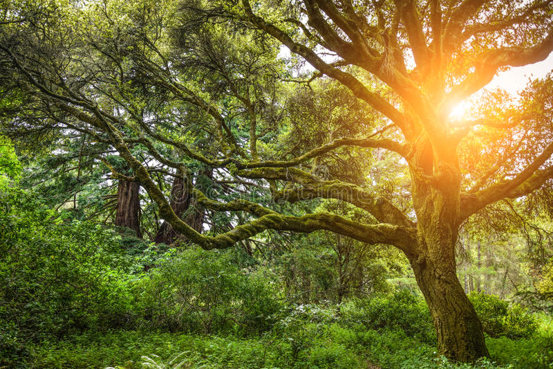 Schöner Baum in einem dichten Wald mit der Sonne macht seine Weise durch die Niederlassungen stockfotos