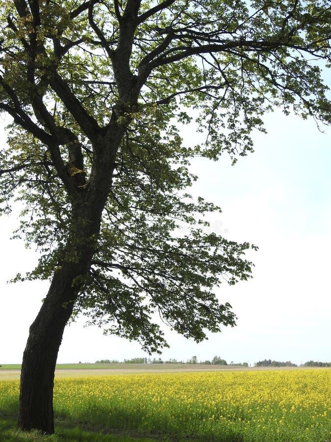 Schöner Baum und Rapsfeld, Litauen stockbild