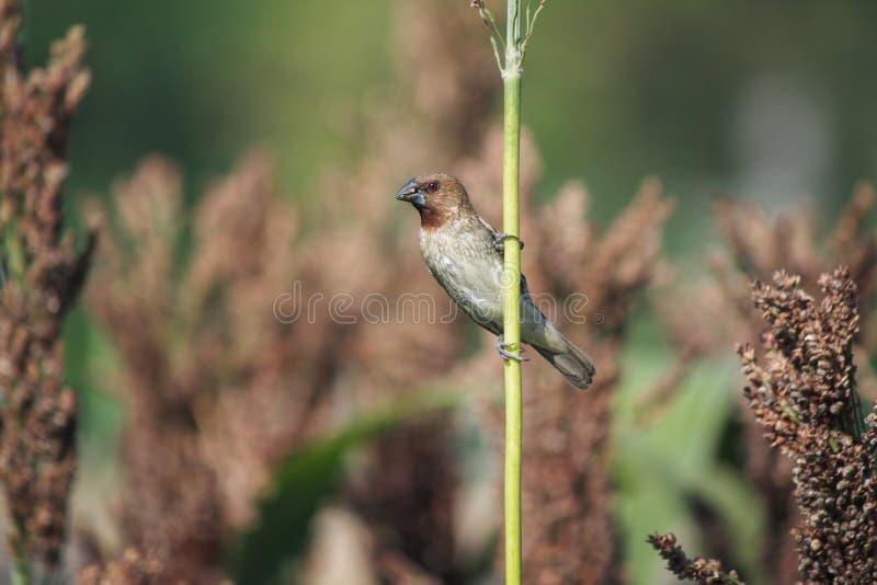 Schöner beschmutzter munia Vogel auf Ernte stockbilder