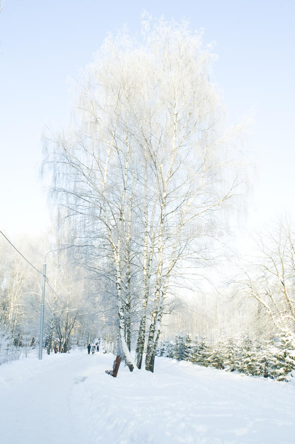 Schöner Birkenbaum stockfotografie