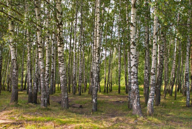 Schöner Birkenwald an einem warmen Sommertag stockfotos