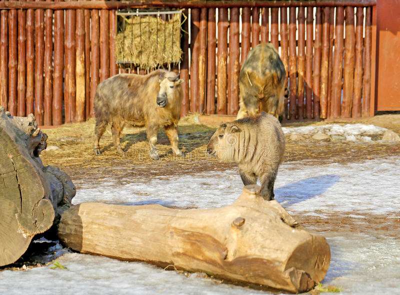 Schöner Bison im Zoo lizenzfreie stockfotografie
